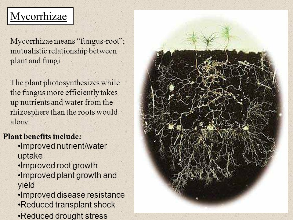 Mycorrhizae Mycorrhizae means fungus-root ; mutualistic relationship between plant and fungi.