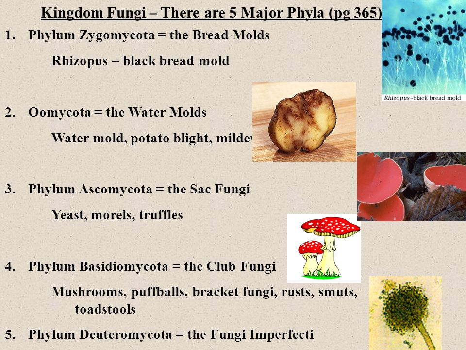 Kingdom Fungi – There are 5 Major Phyla (pg 365)