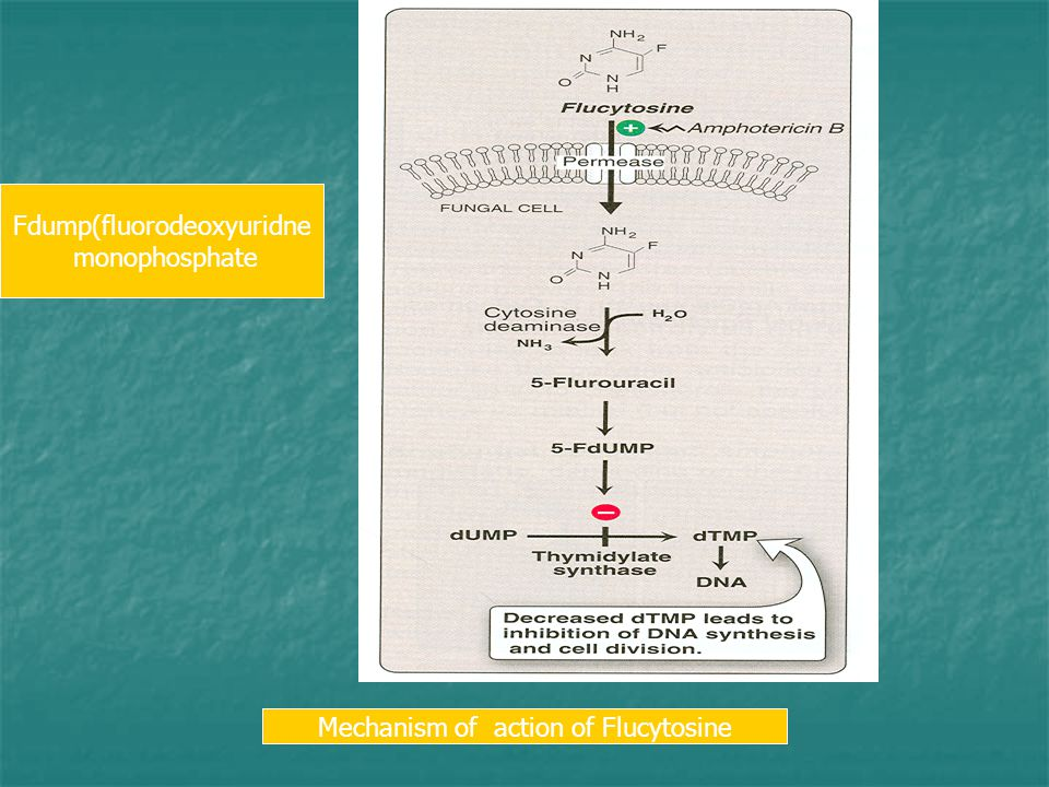 Fdump(fluorodeoxyuridne monophosphate