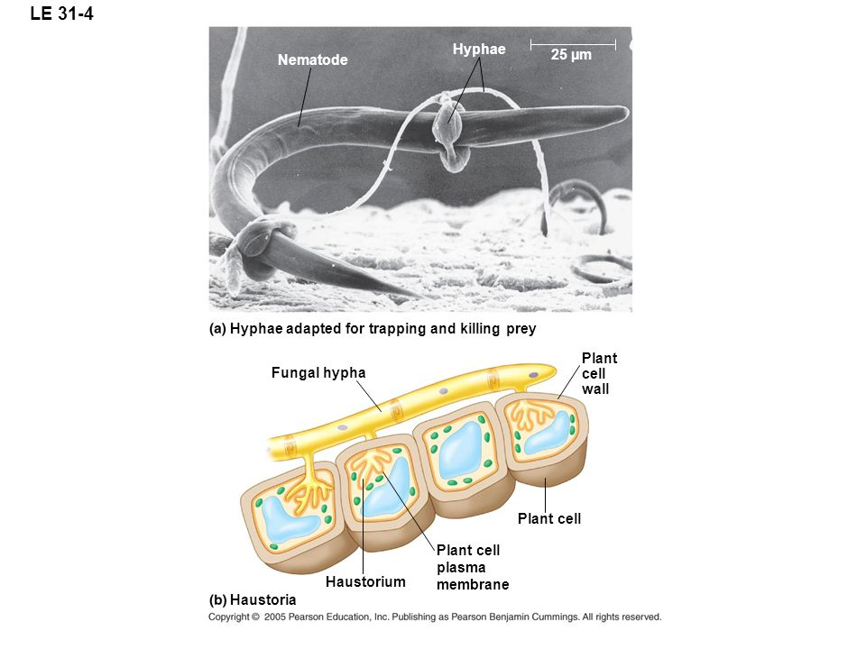 LE 31-4 Hyphae. 25 µm. Nematode. Hyphae adapted for trapping and killing prey. Plant. cell. wall.