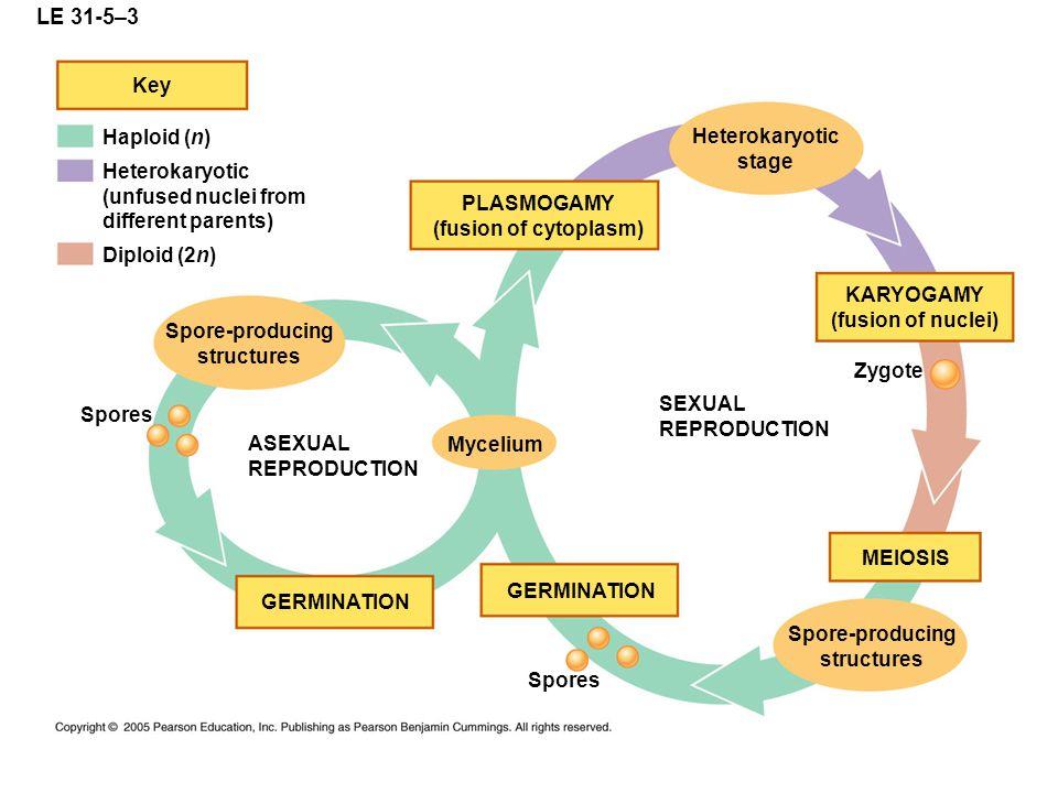 LE 31-5–3 Key Haploid (n) Heterokaryotic stage Heterokaryotic