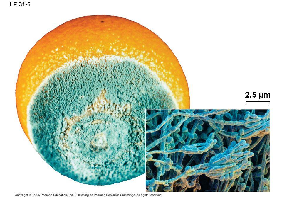 LE 31-6 2.5 µm