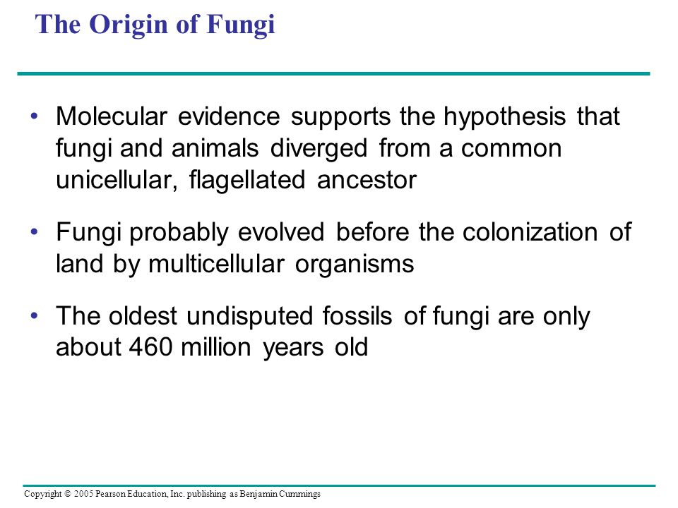 The Origin of Fungi Molecular evidence supports the hypothesis that fungi and animals diverged from a common unicellular, flagellated ancestor.