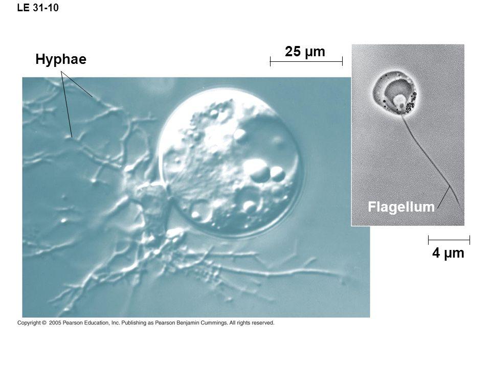 LE 31-10 25 µm Hyphae Flagellum 4 µm