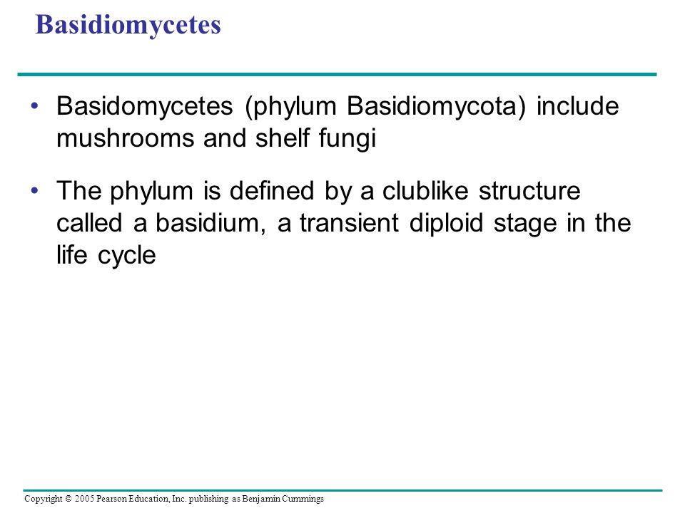 Basidiomycetes Basidomycetes (phylum Basidiomycota) include mushrooms and shelf fungi.