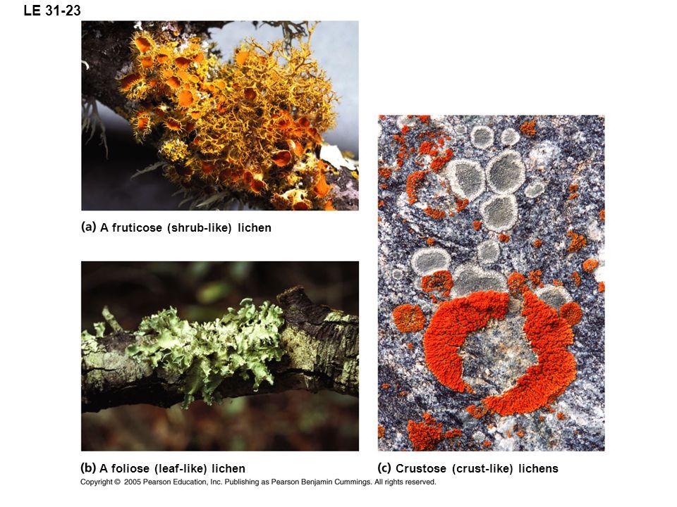 LE 31-23 A fruticose (shrub-like) lichen A foliose (leaf-like) lichen