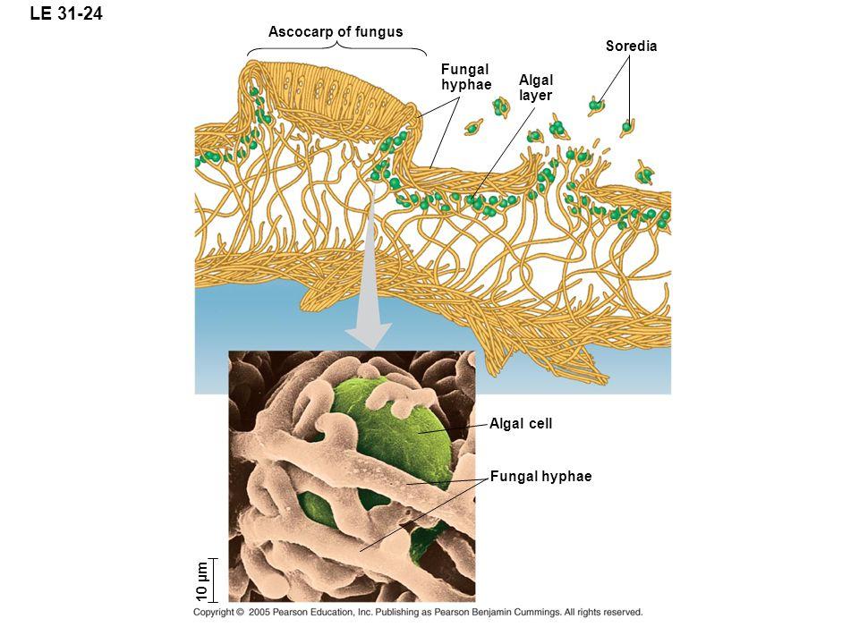LE 31-24 Ascocarp of fungus Soredia Fungal hyphae Algal layer