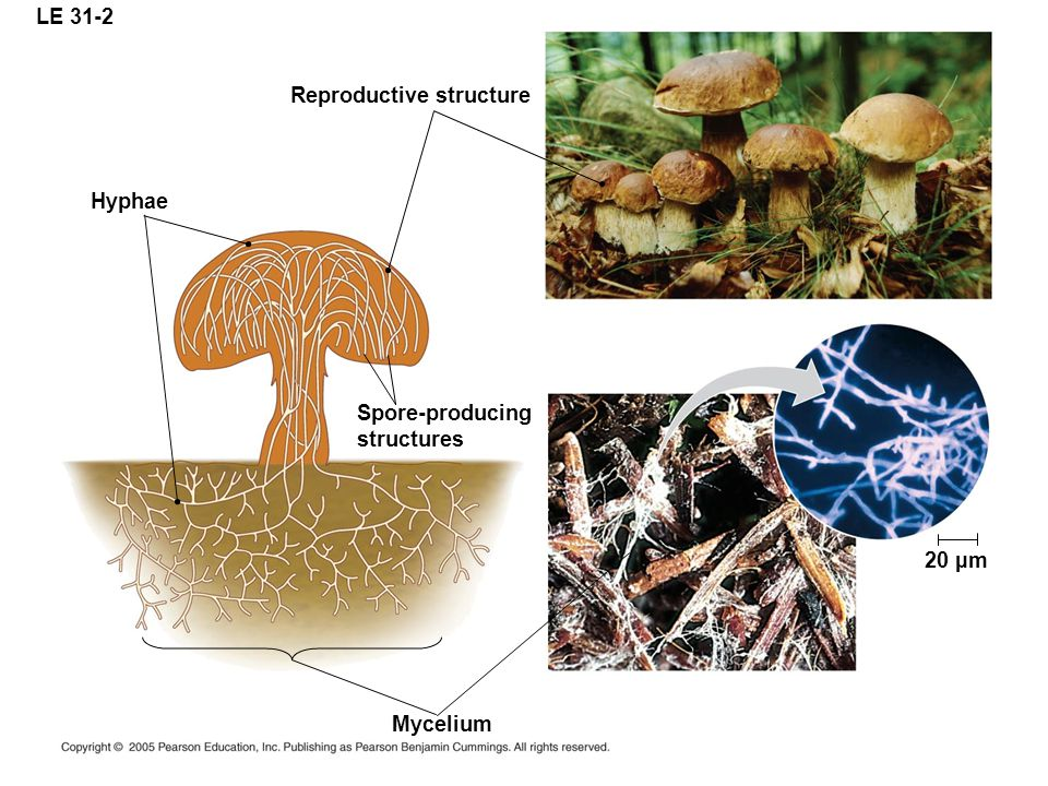LE 31-2 Reproductive structure Hyphae Spore-producing structures 20 µm Mycelium