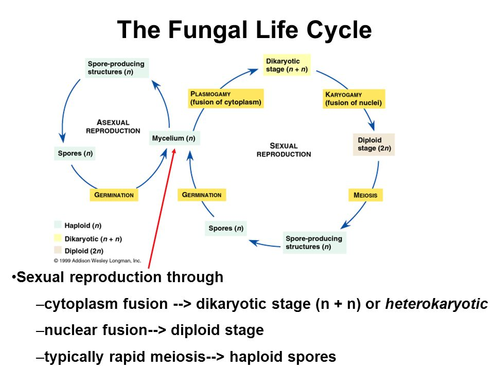 The Fungal Life Cycle Sexual reproduction through