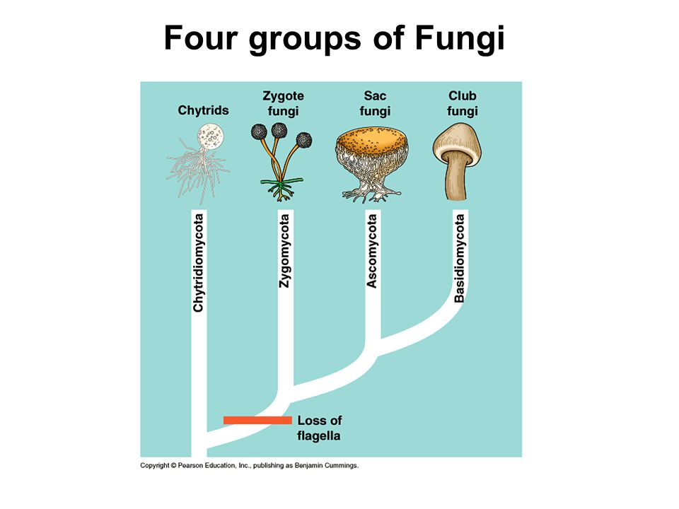 Four groups of Fungi