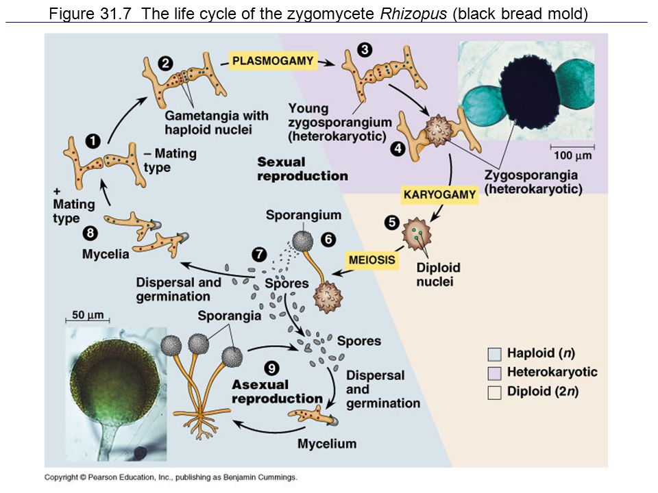 Figure 31.7 The life cycle of the zygomycete Rhizopus (black bread mold)