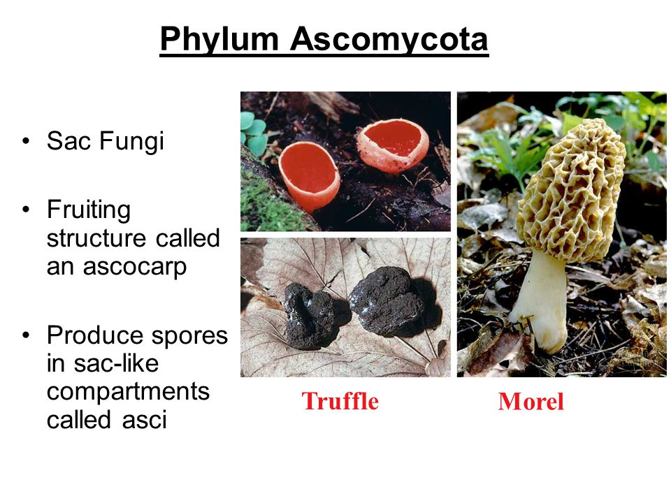 Phylum Ascomycota Sac Fungi Fruiting structure called an ascocarp