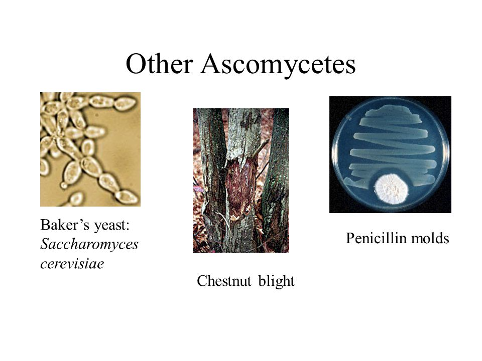 Other Ascomycetes Baker's yeast: Saccharomyces cerevisiae