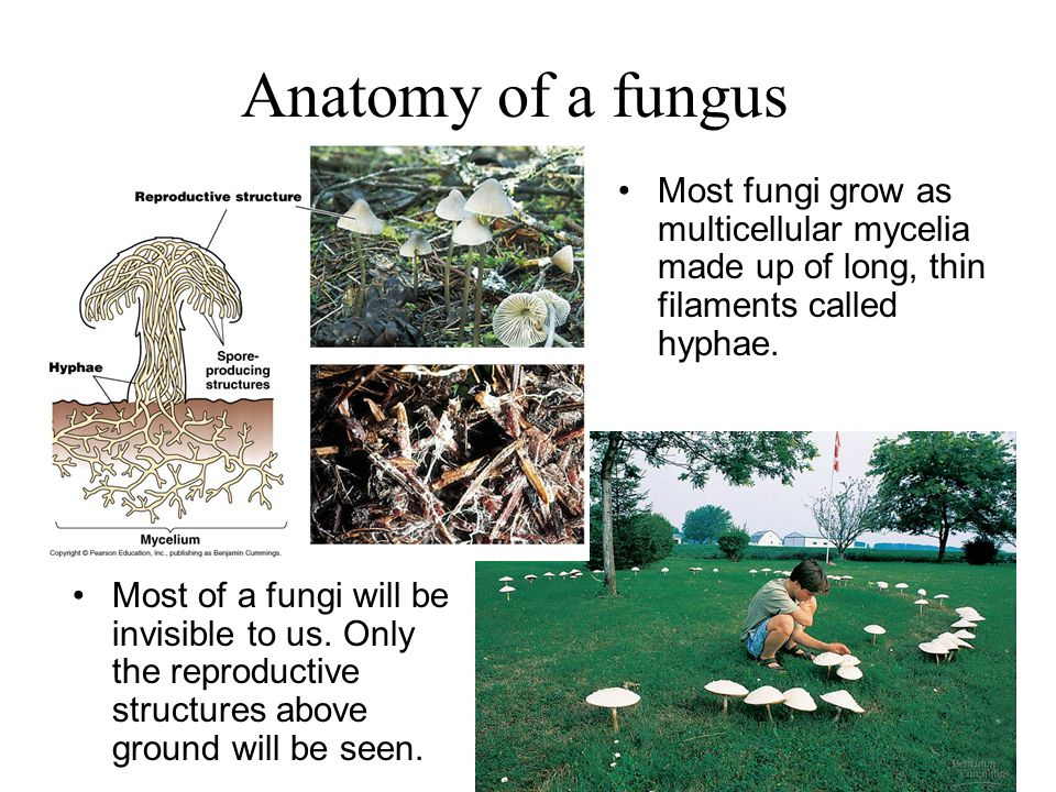 Anatomy of a fungus Most fungi grow as multicellular mycelia made up of long, thin filaments called hyphae.