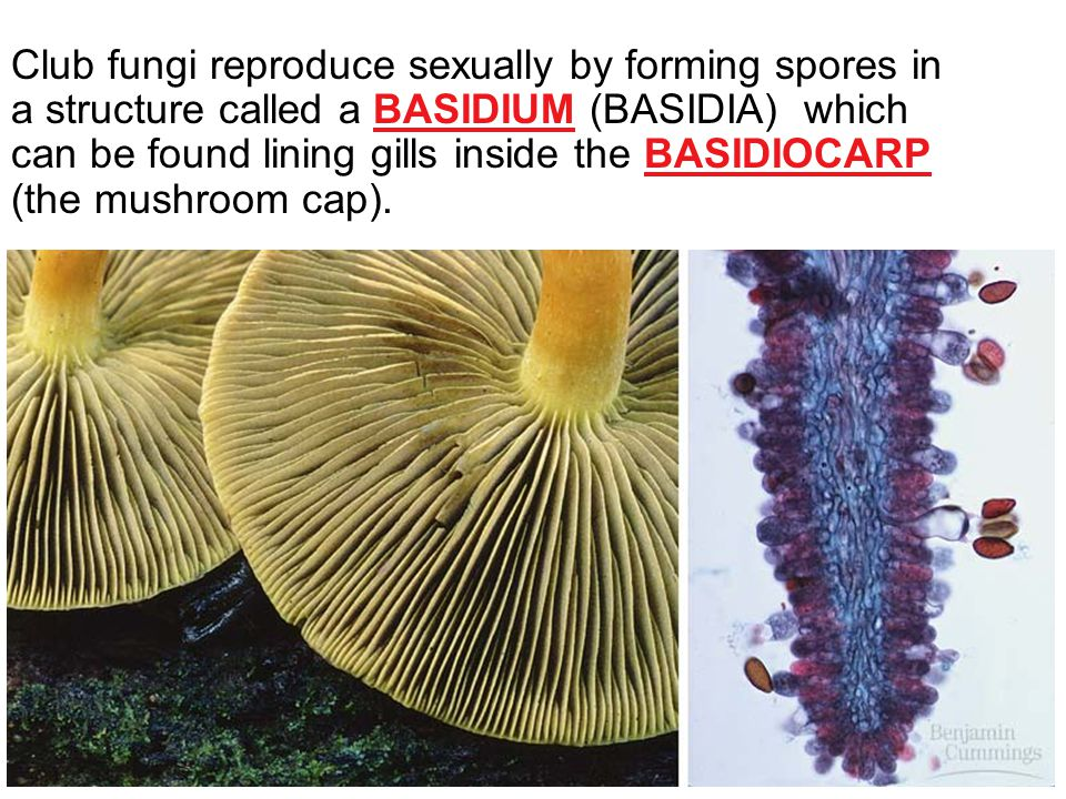 Club fungi reproduce sexually by forming spores in a structure called a BASIDIUM (BASIDIA) which can be found lining gills inside the BASIDIOCARP (the mushroom cap).