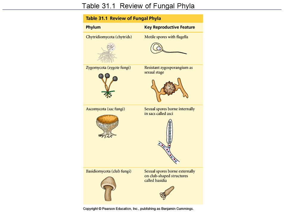 Table 31.1 Review of Fungal Phyla