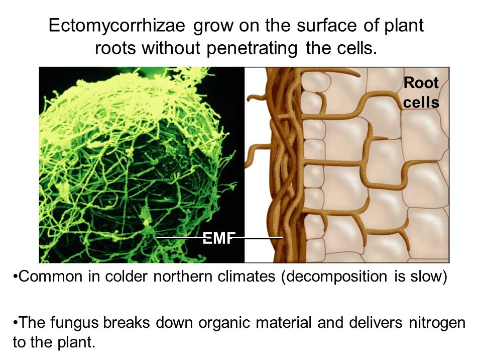 Ectomycorrhizae grow on the surface of plant roots without penetrating the cells.