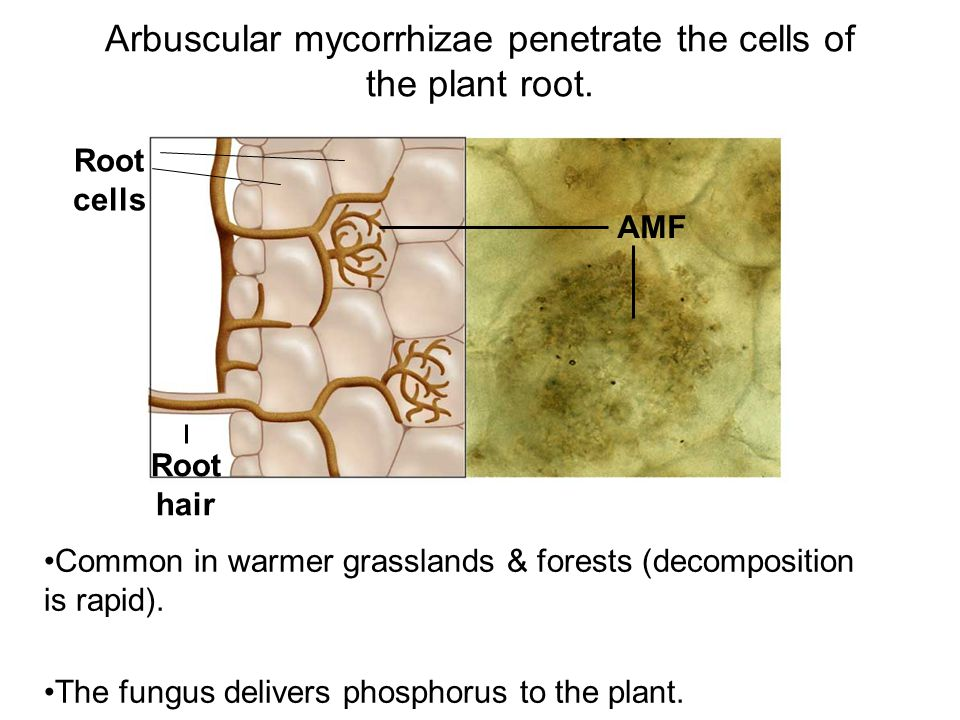 Arbuscular mycorrhizae penetrate the cells of the plant root.