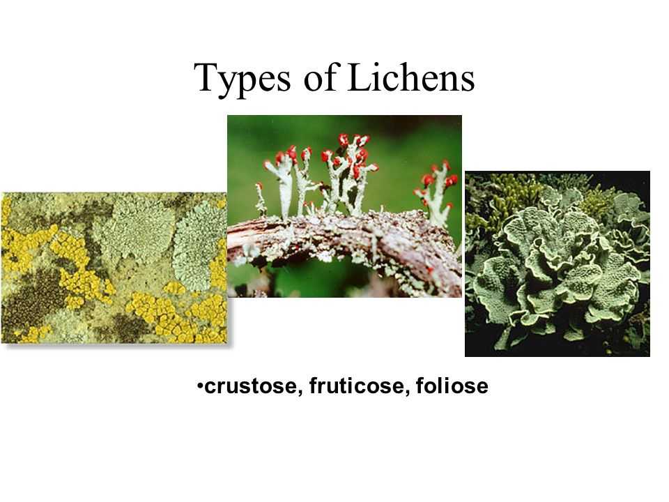 Types of Lichens crustose, fruticose, foliose