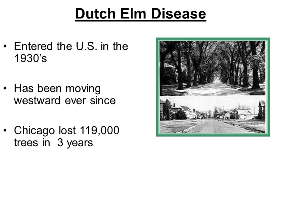 Dutch Elm Disease Entered the U.S. in the 1930's