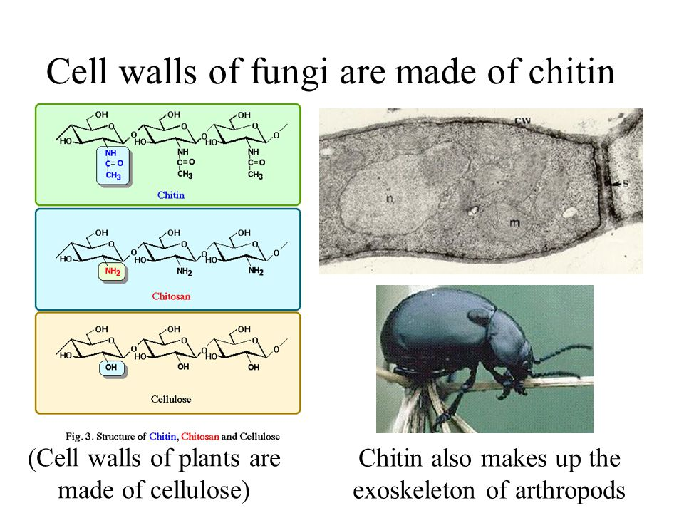 Cell walls of fungi are made of chitin