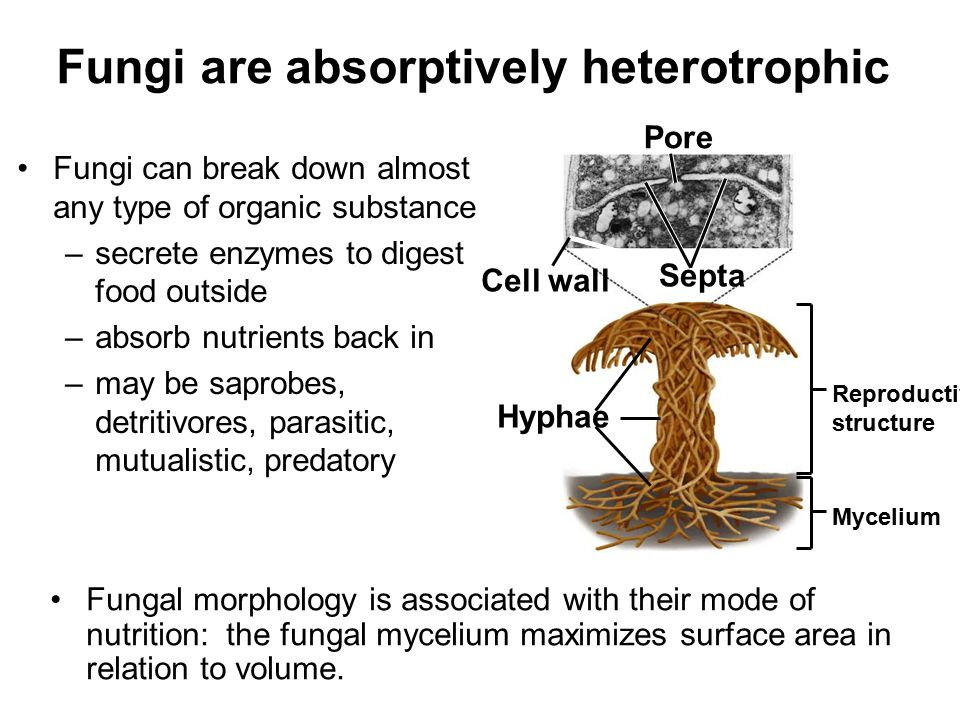 Fungi are absorptively heterotrophic