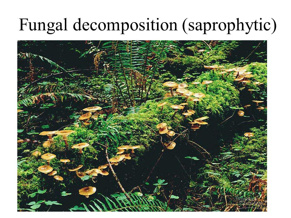 Fungal decomposition (saprophytic)