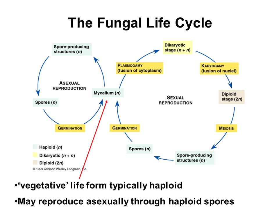 The Fungal Life Cycle 'vegetative' life form typically haploid