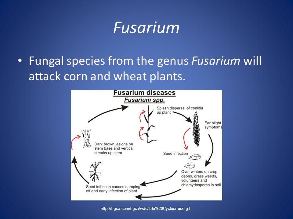 Fusarium Fungal species from the genus Fusarium will attack corn and wheat plants.