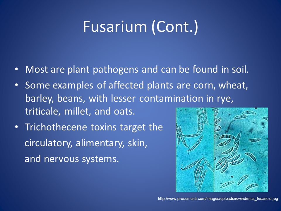 Fusarium (Cont.) Most are plant pathogens and can be found in soil.