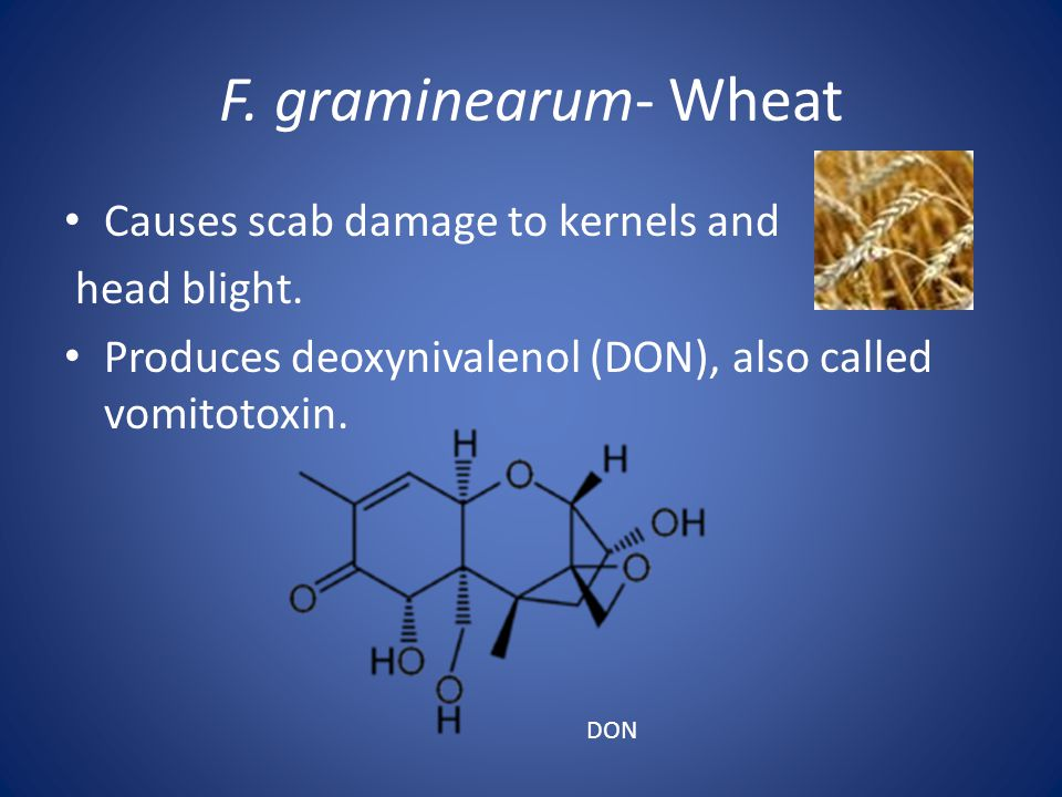 F. graminearum- Wheat Causes scab damage to kernels and head blight.