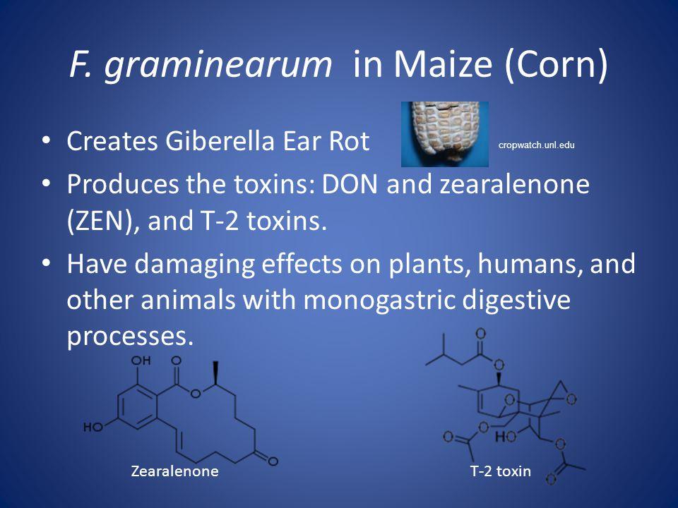 F. graminearum in Maize (Corn)