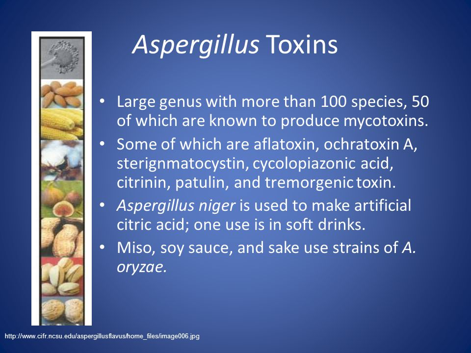 Aspergillus Toxins Large genus with more than 100 species, 50 of which are known to produce mycotoxins.