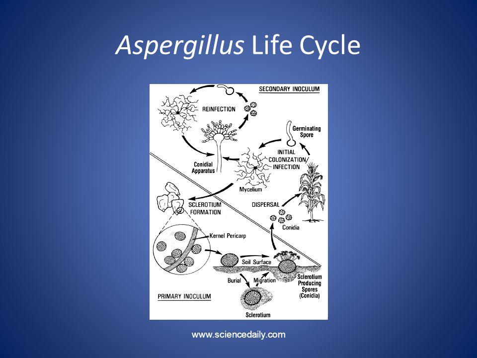 Aspergillus Life Cycle