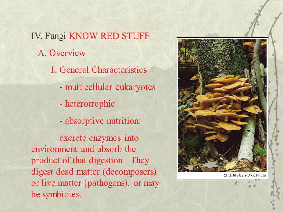 IV. Fungi KNOW RED STUFF A. Overview. 1. General Characteristics. - multicellular eukaryotes. - heterotrophic.