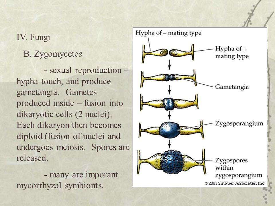 IV. Fungi B. Zygomycetes.