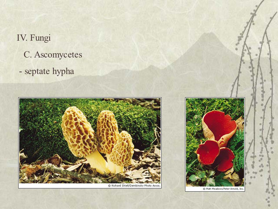 IV. Fungi C. Ascomycetes - septate hypha