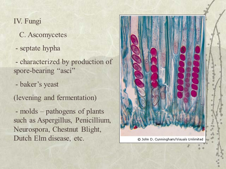 IV. Fungi C. Ascomycetes. - septate hypha. - characterized by production of spore-bearing asci - baker's yeast.