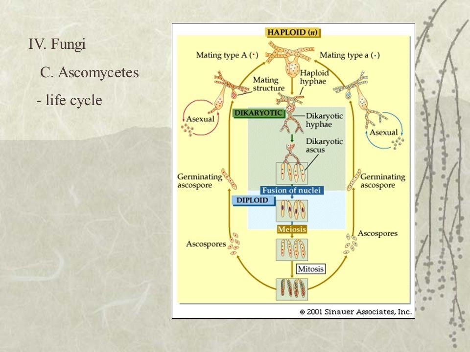 IV. Fungi C. Ascomycetes - life cycle