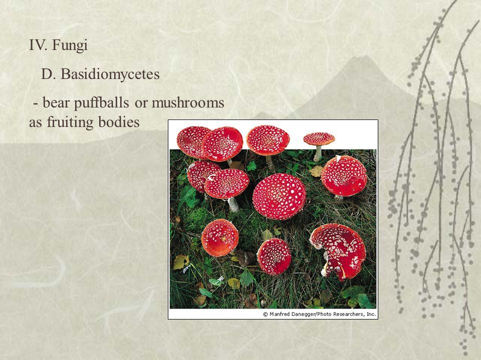 IV. Fungi D. Basidiomycetes - bear puffballs or mushrooms as fruiting bodies