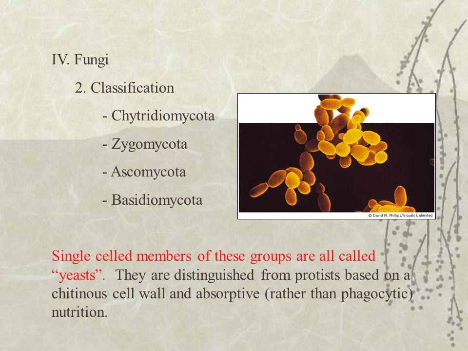 IV. Fungi 2. Classification. - Chytridiomycota. - Zygomycota. - Ascomycota. - Basidiomycota.