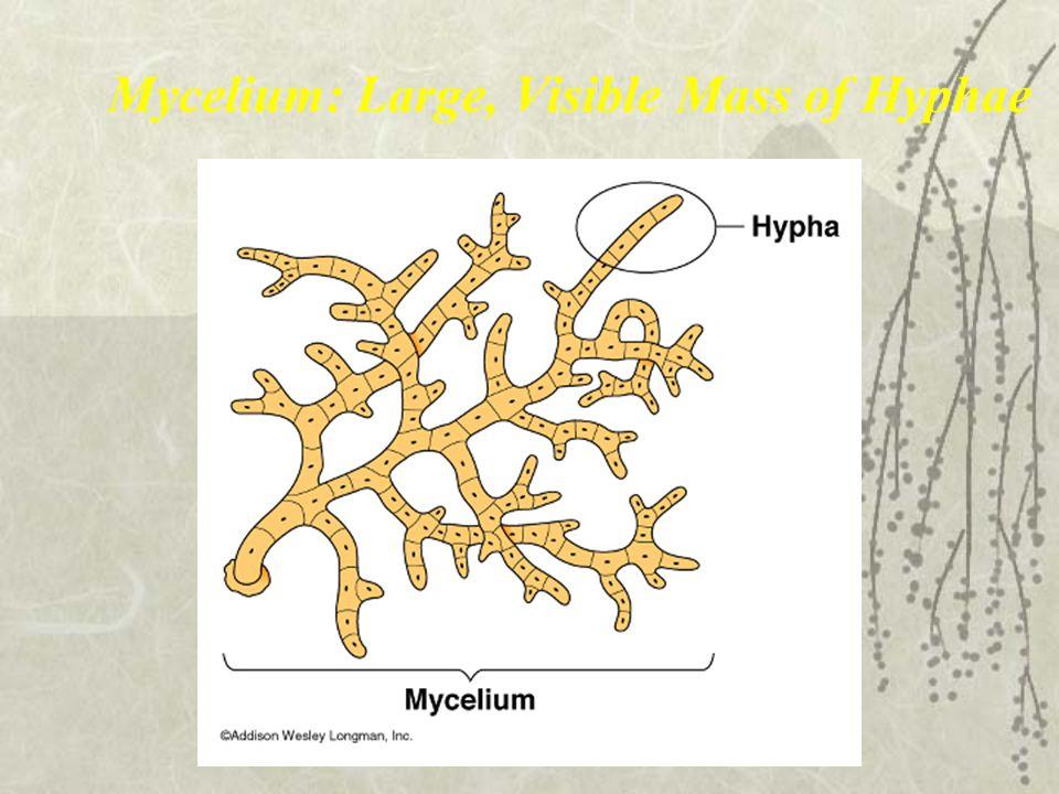 Mycelium: Large, Visible Mass of Hyphae