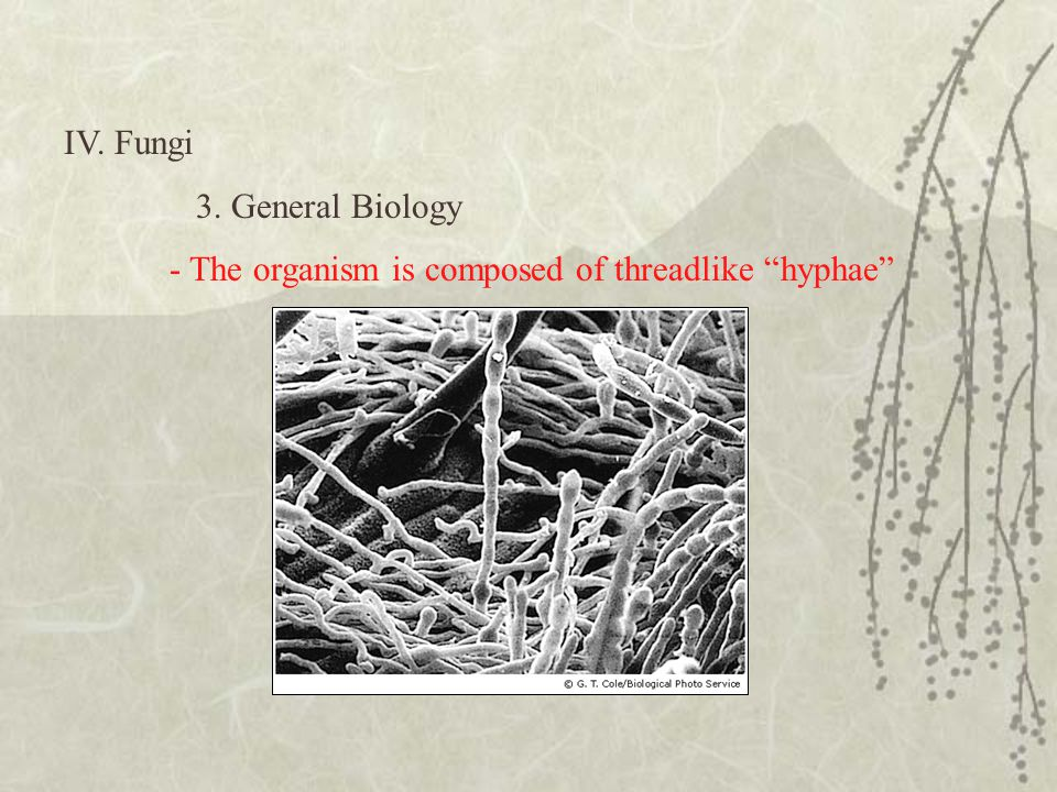 IV. Fungi 3. General Biology - The organism is composed of threadlike hyphae