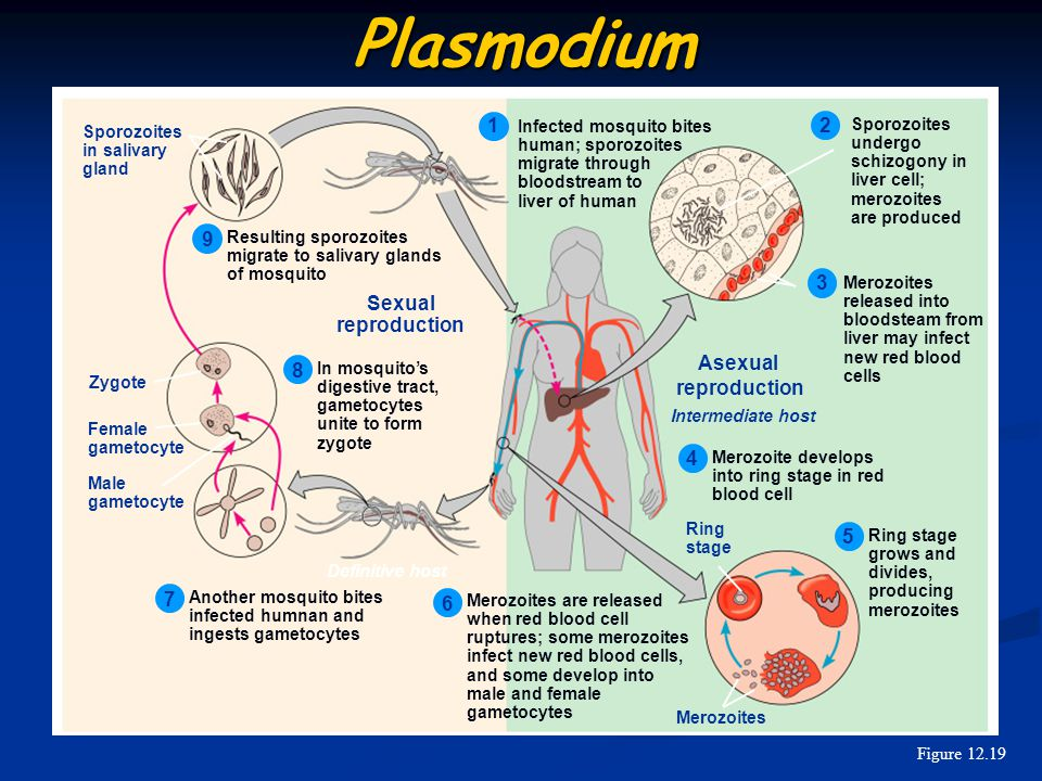 Plasmodium 1 2 9 3 Sexual reproduction Asexual reproduction 8 4 5 7 6