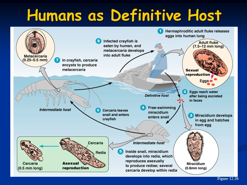 Humans as Definitive Host