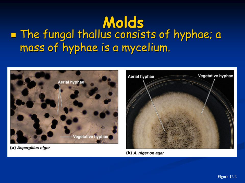 Molds The fungal thallus consists of hyphae; a mass of hyphae is a mycelium. Figure 12.2
