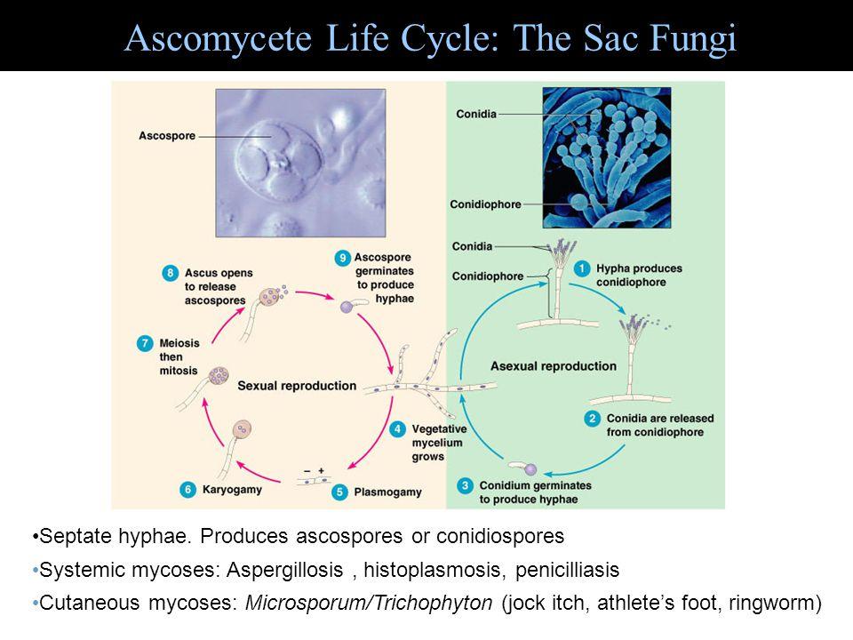 Ascomycete Life Cycle: The Sac Fungi