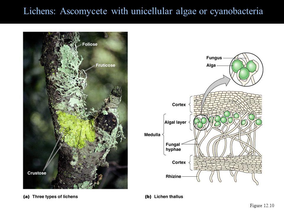 Lichens: Ascomycete with unicellular algae or cyanobacteria