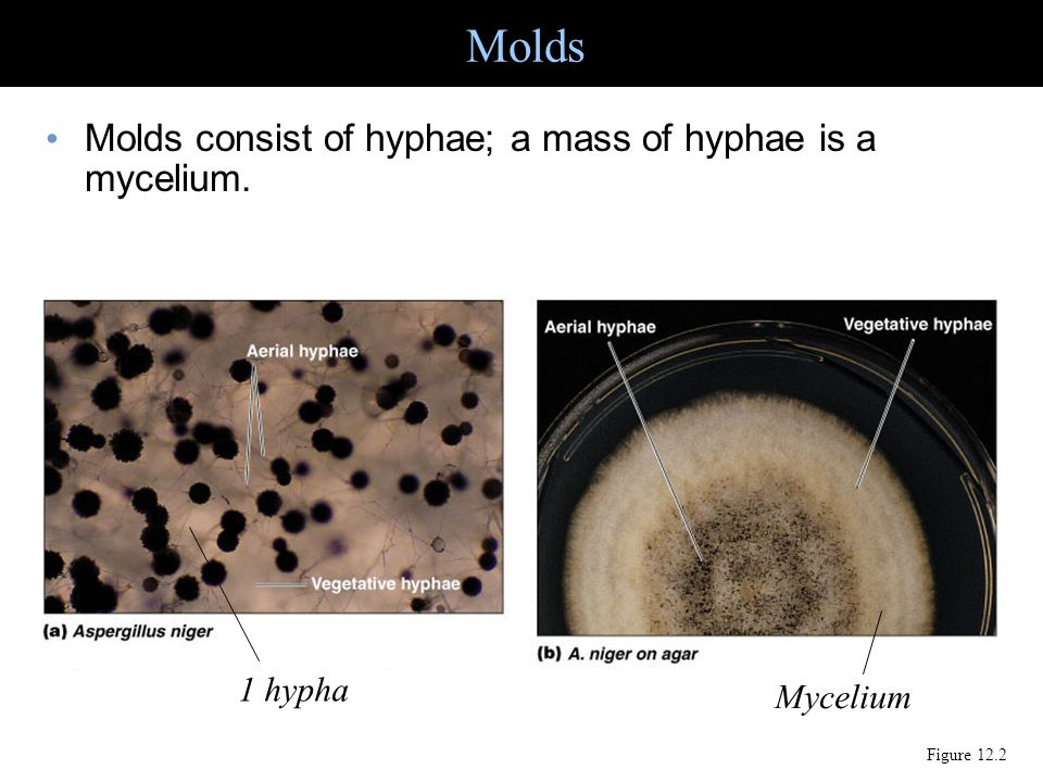 Molds Molds consist of hyphae; a mass of hyphae is a mycelium. 1 hypha