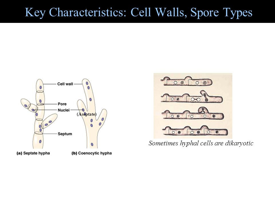 Key Characteristics: Cell Walls, Spore Types